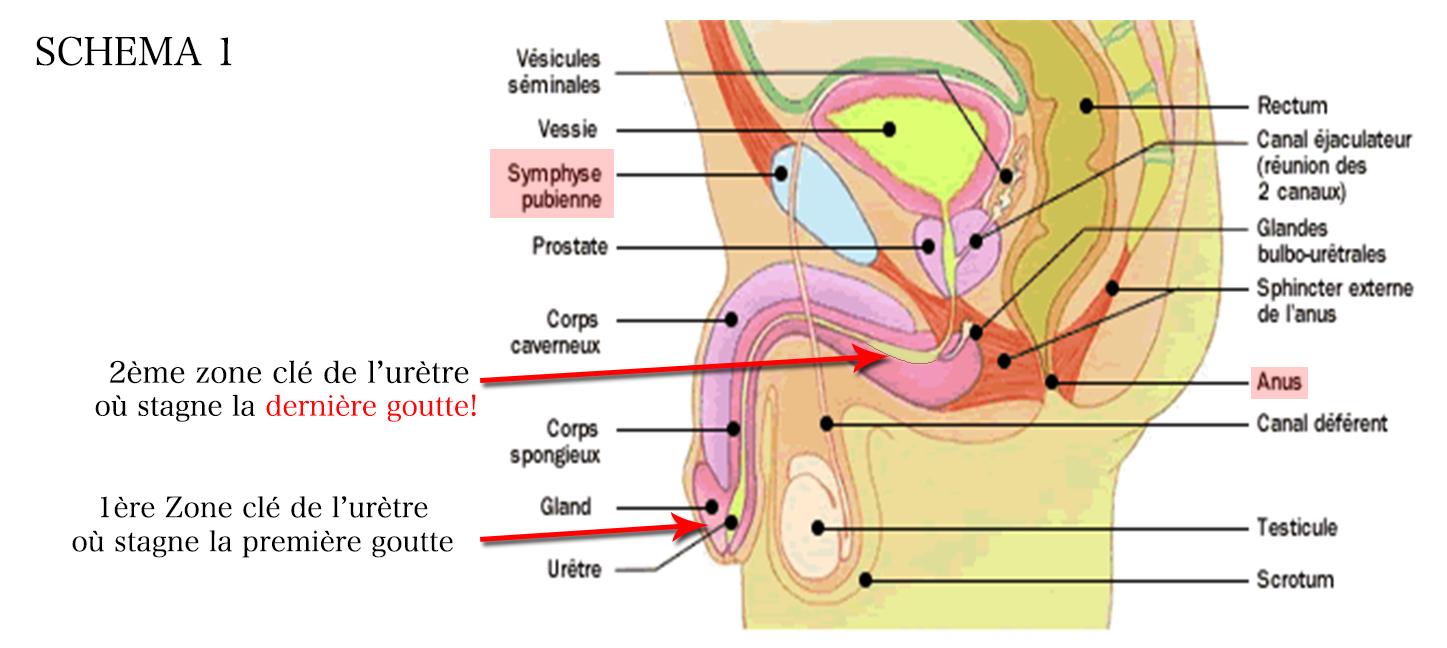 Se débarrasser de la dernière goutte | Ostéopathe D.O. Toulouse